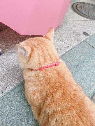 江之島上碰到的貓咪